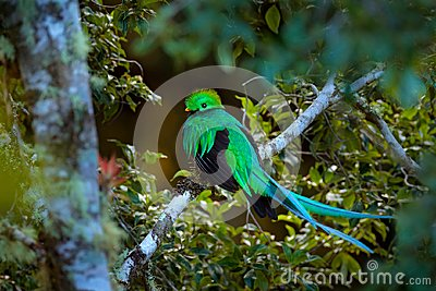 Resplendent Quetzal, Tapanti NP in Costa Rica, with green forest in background. Magnificent sacred green and red bird. Detail port
