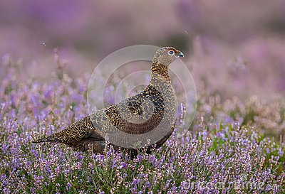 Red Grouse with in purple heather, looking to the right