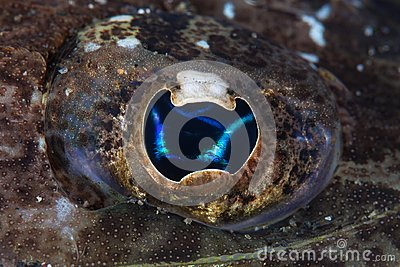 Detail of the Eye of Flathead on Seafloor in Indonesia