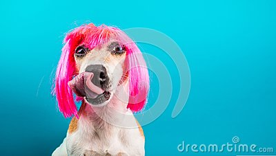 Funny dog in pink wig. waiting for a delicious meal foog licking. Blue background