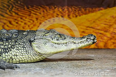 stock image of wildlife animals - wild reptile crocodile mouth and teeth. crocodile head in profile resting