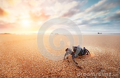 Funny Crab Arthropod looks on sunrise in the early morning time
