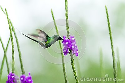 Green thorntail hovering next to violet flower, bird from mountain tropical forest, Costa Rica, tiny beautiful hummingbird