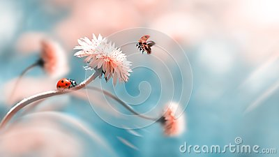 Two ladybugs on a orange spring flower. Flight of an insect. Artistic macro image. Concept spring summer.