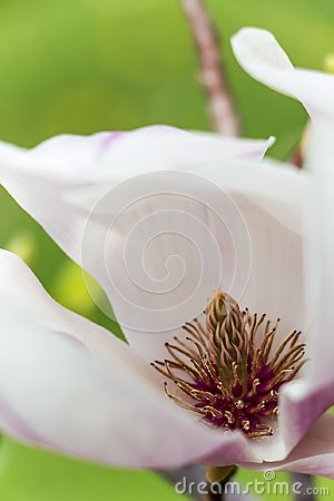 Close-up of Magnolia white flower with carpels and pink stamens
