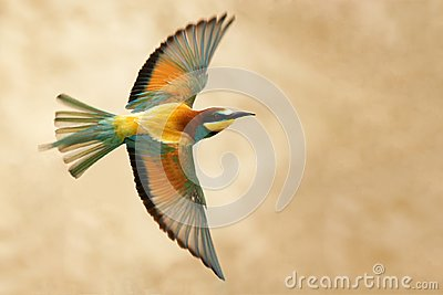 European bee-eater in flight on a beautiful background