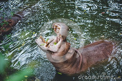 Hippopotamus or hippo mouth jaws for food