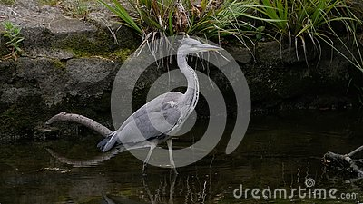 Grey Heron / Ardea cinerea portrait wading in canal hunting for fish