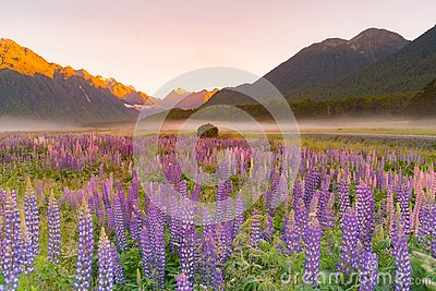 Lupine purple colour in mountain, New Zealand
