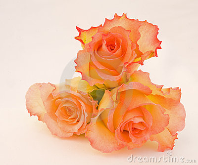 Pink and cream roses.