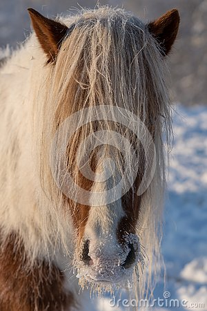 Beautiful Icelandic horse with frost on its muffle