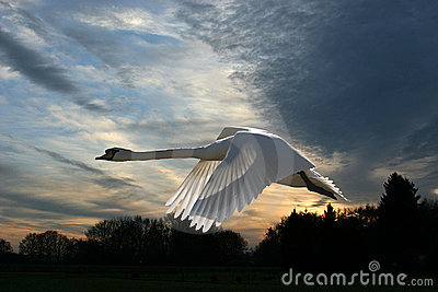 Swan in a wintry sunset
