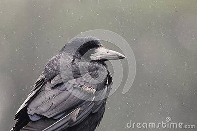 Rook in the rain