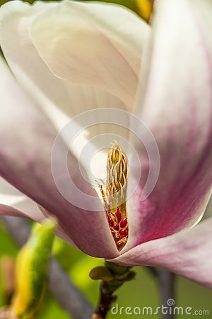 Close-up of Magnolia white flower carpels and pink stamens
