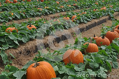 Pumpkin field with lush green leaves