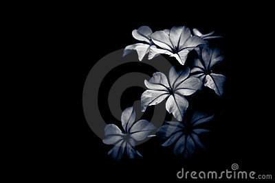 Black and white flower light and shade