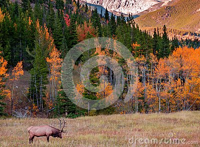 Elk; Rocky Mountain National Park, CO