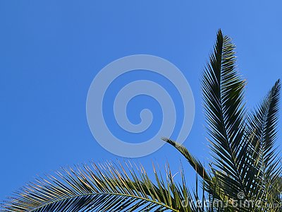 Green branches of Canary Island Date Palm against a bright blue sky