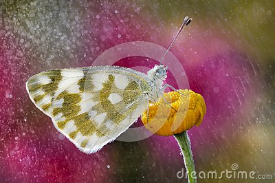 The butterfly in the rain