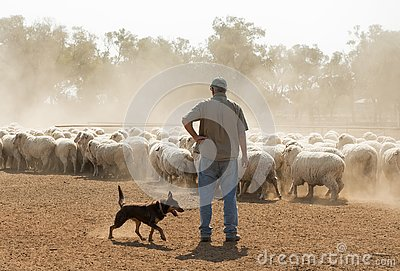 Sheep mustering in outback New South Wales