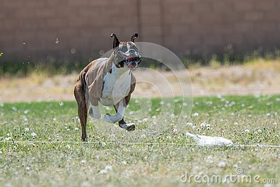 Boxer with his lips flying chasing a lure