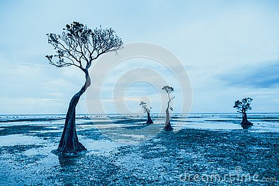 Graceful silhouettes of the mangrove trees. Sumba.