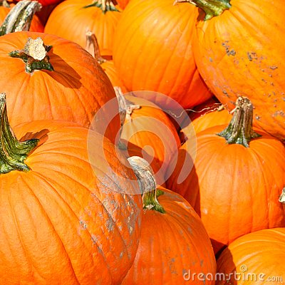 Pumpkins on a Fall day in Groton, Massachusetts, Middlesex County, United States. New England Fall.