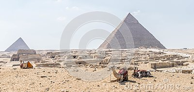Camels on the background of the Giza pyramid complex
