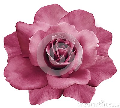 Flower isolated pink rose on a white background. Closeup. Element of design.