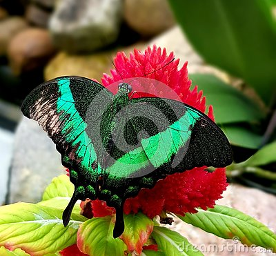 Butterfly in green color on red flower
