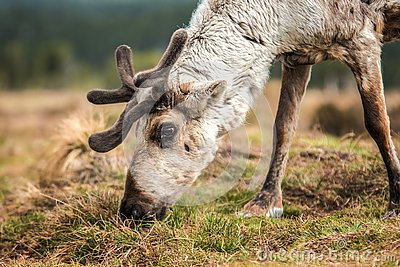 Reindeer on a hill