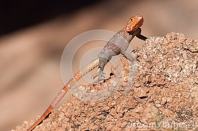Agama agama - red-headed lizzard in Africa