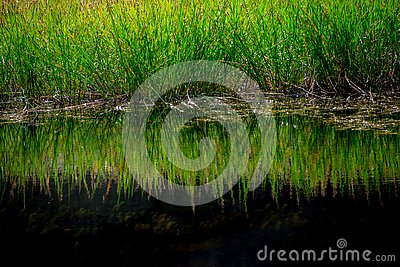 reed grass reflected in still unpolluted water