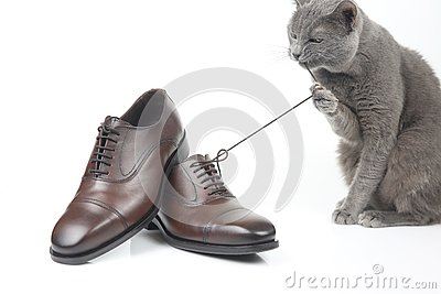 stock image of gray cat plays with a classic lace men`s brown shoe on white bac