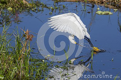 Snowy Egret Skimming The Water To Agitate And Catch Fish