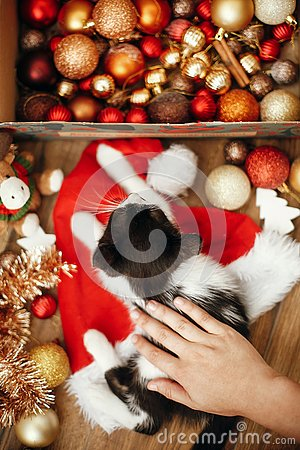 Hand caressing cute kitty at box with red and gold baubles, ornaments and santa hat under christmas tree in festive room. Merry C
