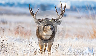 An Enormous Mule Deer Buck on a Cold Morning After a Snowstorm