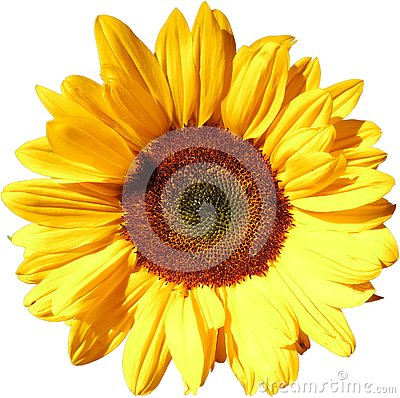 Sun flower on transparent background in the additional png file