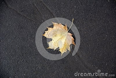 Yellow autumn maple leave