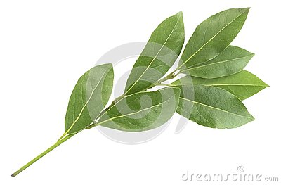 Green aromatic bay leaf branch photo, isolated on white. Laurel twigs. Photo of laurel bay harvest for eco cookery business. Antio