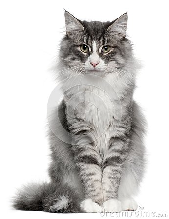 Norwegian Forest Cat, 5 months old