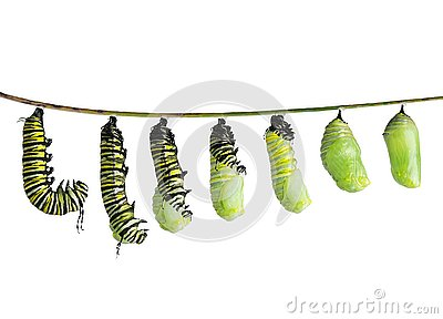 Monarch caterpillar in various stages isolated on white