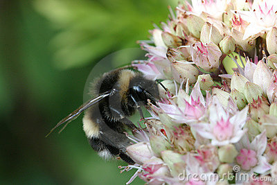 Bumblebee on sedum