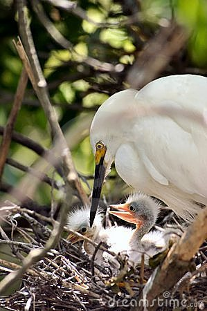 Adult egret with chicks