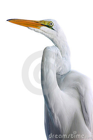 Egret against white