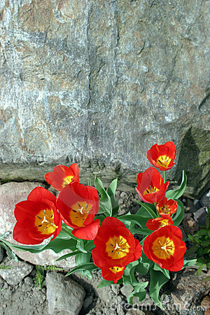 Rock and tulips