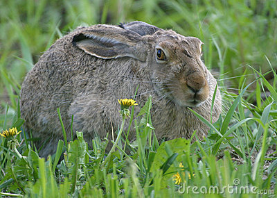 Rabbit and dandelions