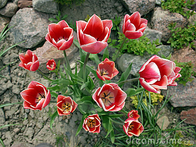 Red white tulips