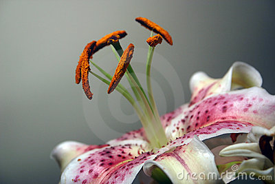 Lily detail of stamen and petals
