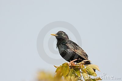Starling on walnut leafs